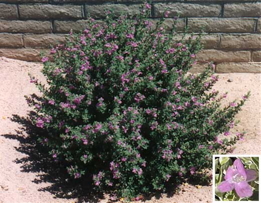 Medium To Large Desert Shrub