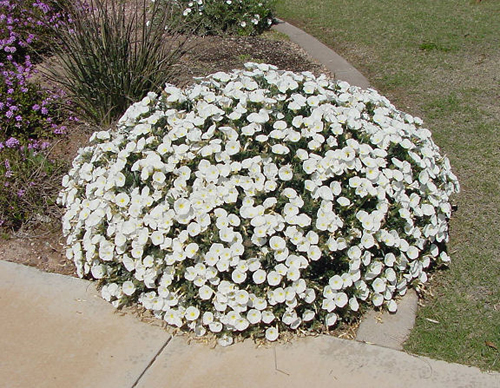 Gilbert arizona landscaping plants list for No maintenance flowering shrubs