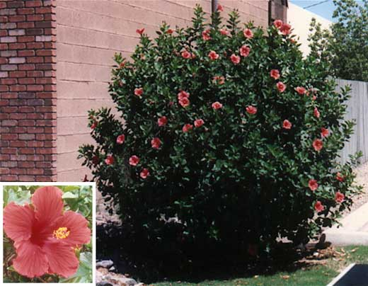 Blooms ... - Gilbert Arizona Landscaping Plants List
