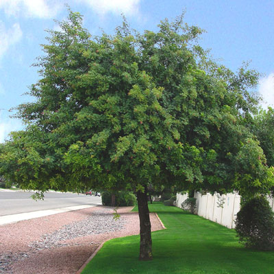 Umbrella shaped trees evergreen bing images for Small sized evergreen trees