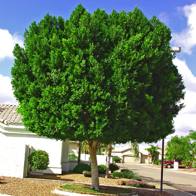 Fast Growing Dense Evergreen Foliage Great Tree For